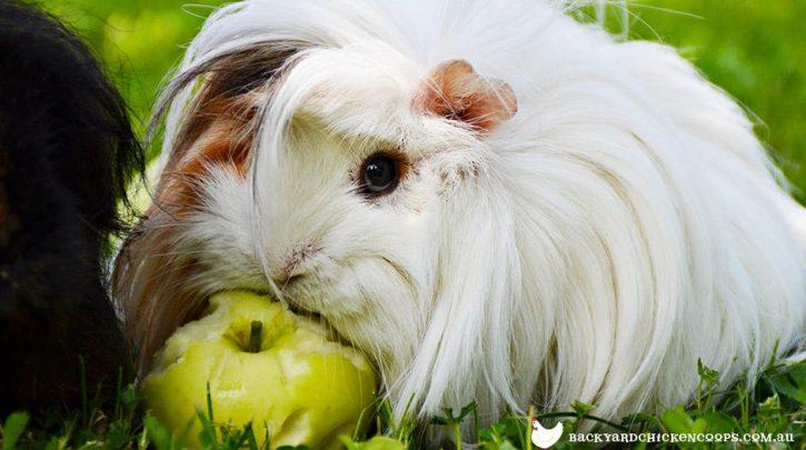 Guinea Pigs apple