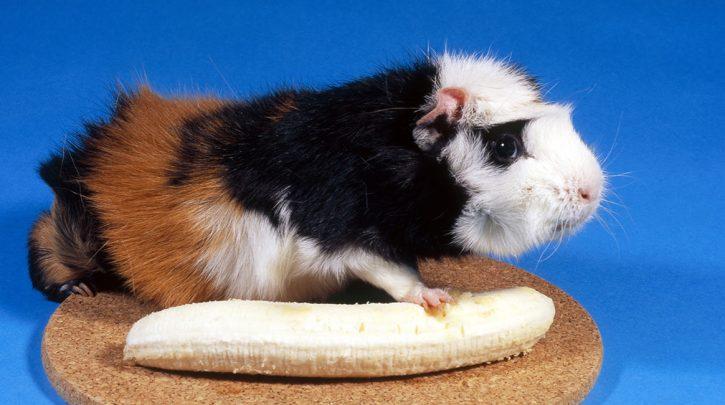Guinea Pigs banana