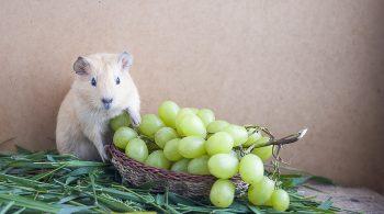 Guinea Pigs grapes