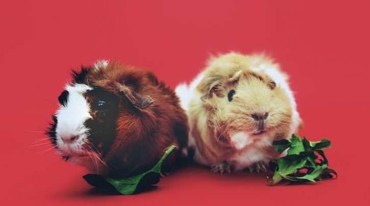 Guinea Pigs spinach