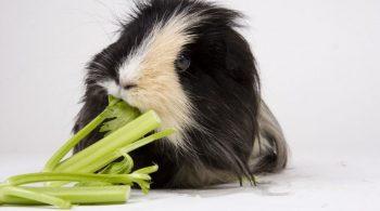 guinea pigs celery