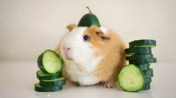 guinea pigs cucumber